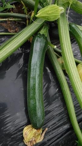 2019.6.08菜園5