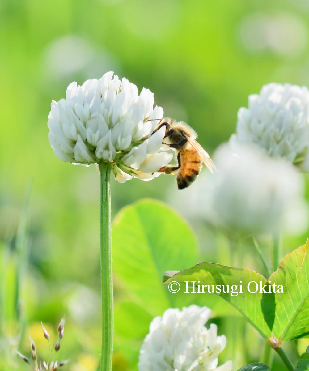 190430セイヨウミツバチ