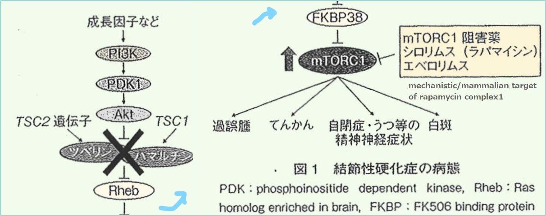 rapamycin3.jpg