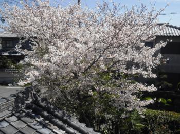 4-25桜