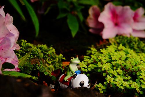 ツバキアキラが撮ったカエルのコポー。綺麗なつつじが咲いている、秘密の場所に来た、コポタロウとパンダ号。