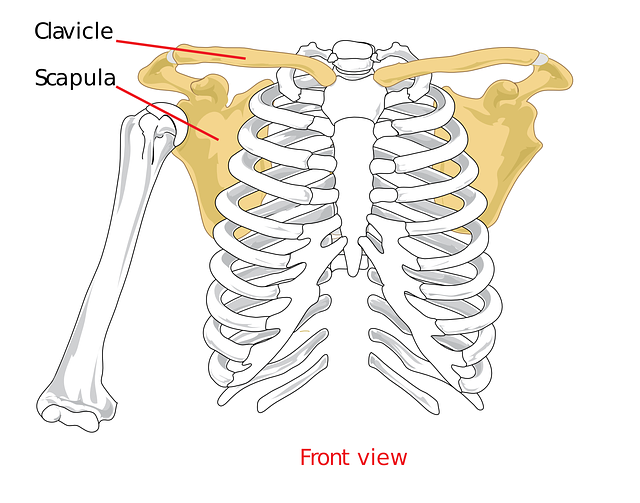 clavical-41577_640.png