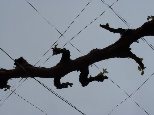 仲村さんのブドウの樹