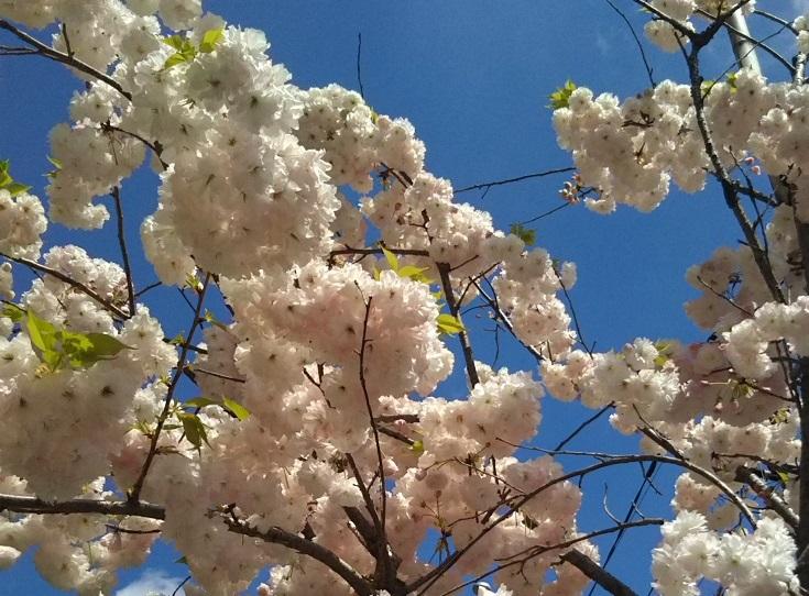 19418桜