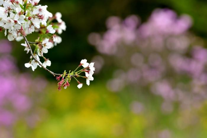 DSC_7710-001桜