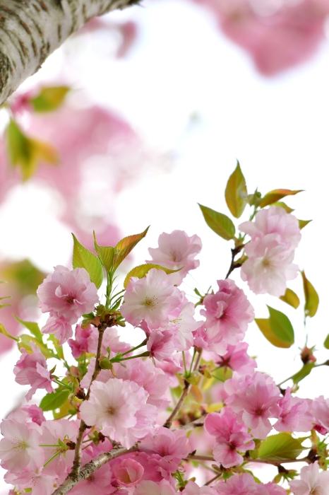 DSC_7672-001八重桜