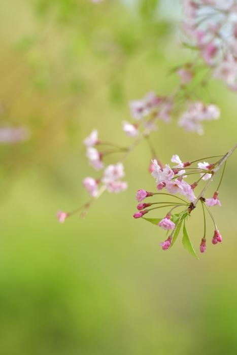 DSC_7516-002枝垂桜