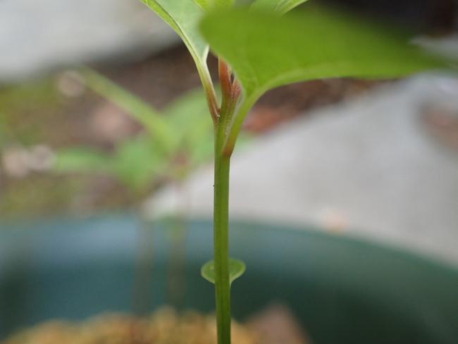 楠の幼苗 アオ