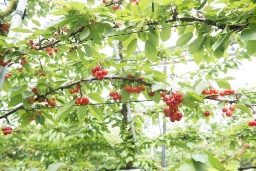 Cherry86576.jpg