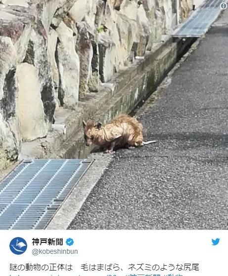 【UMA】兵庫県に「謎の生物」が出現!正体はなに?毛はまばら、ネズミのような尻尾らしい