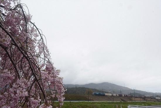 2083レ EH200-19号機と枝垂桜
