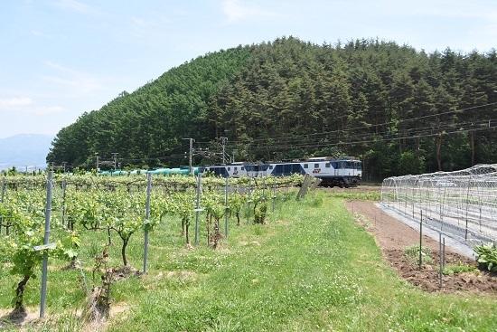 葡萄畑を行く西線貨物8084レ EF64-1010