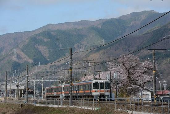 823M 313系2+2両と桜