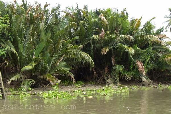 ニッパ椰子1