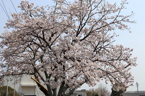 2019.04.19 お花見散歩-2