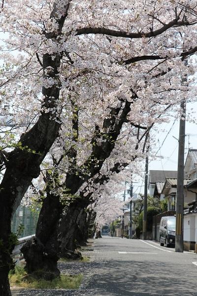 2019.04.19 お花見散歩-6