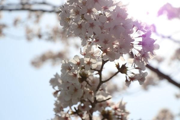 2019.04.19 お花見散歩-7