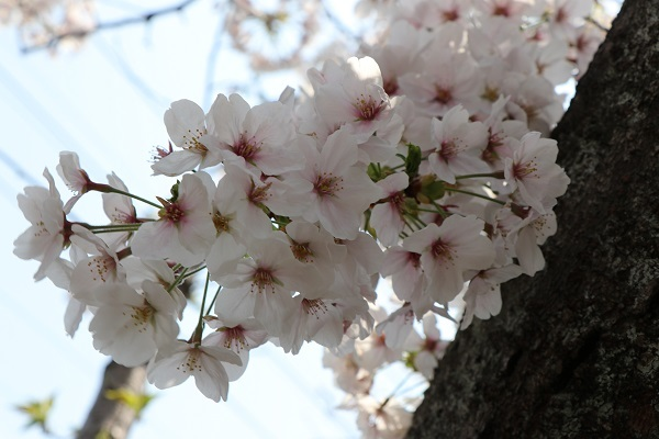 2019.04.19 お花見散歩-8