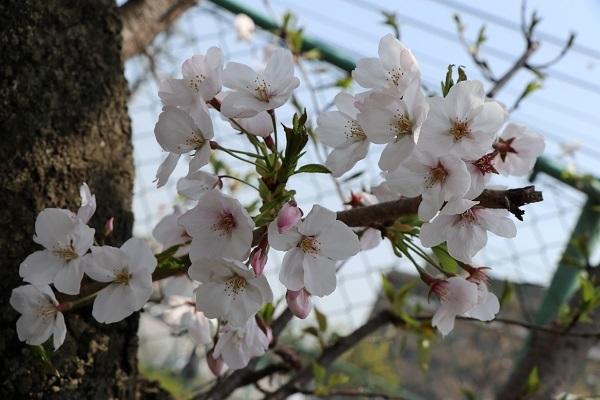 2019.04.19 お花見散歩-9