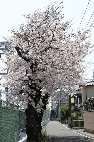 2019.04.19 お花見散歩-11