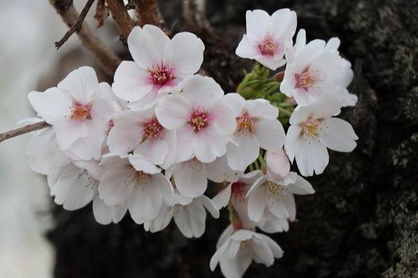 2019.04.19 お花見散歩-12