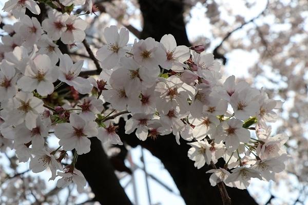 2019.04.19 お花見散歩-13
