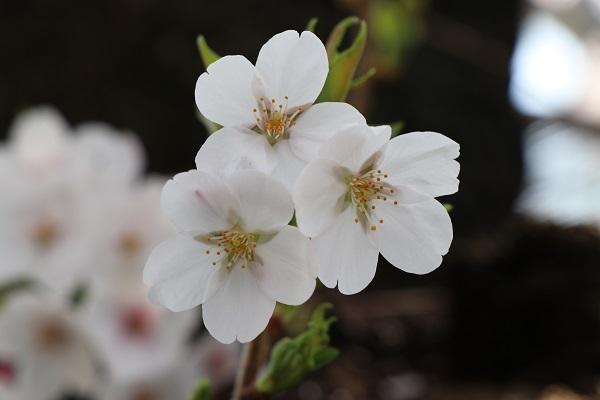 2019.04.19 お花見散歩-14
