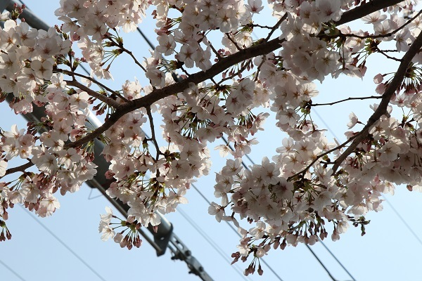 2019.04.19 お花見散歩-15