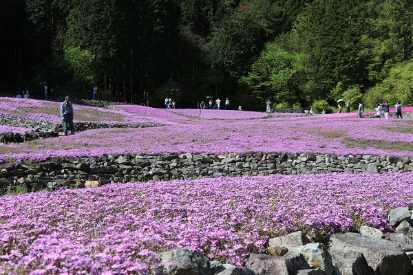 2019.05.20-2 花のじゅうたん①-5