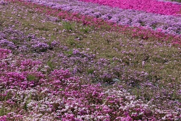 2019.05.20-2 花のじゅうたん①-8