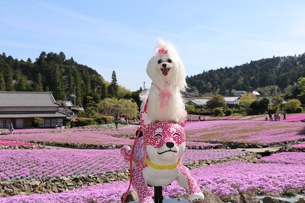 2019.05.22 花のじゅうたん③-3