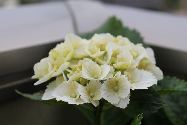 2019.06.14 紫陽花が咲いたよ-2