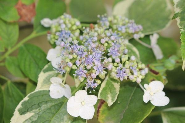 2019.06.14 紫陽花が咲いたよ-6