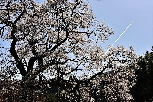 要害桜13