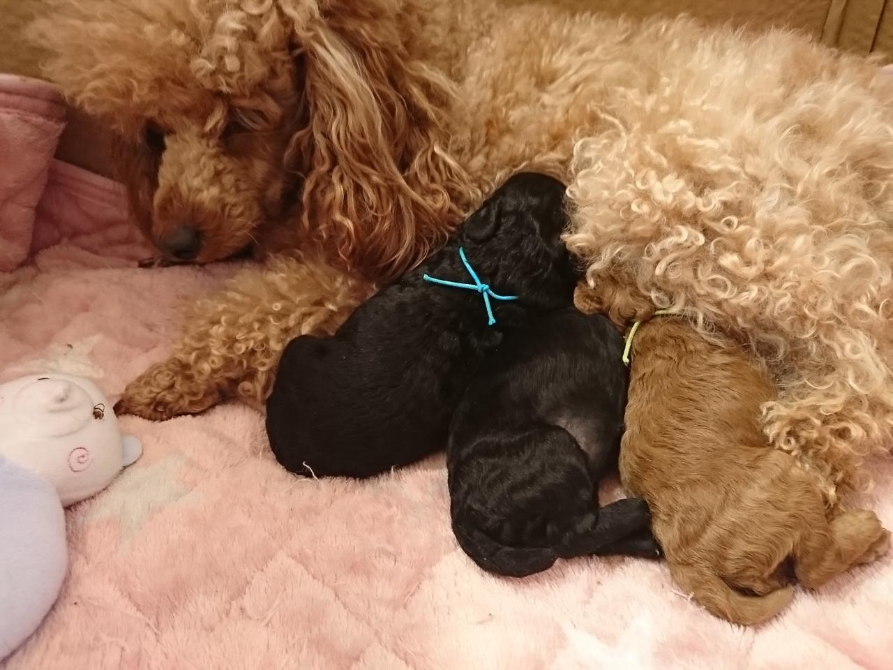 アルはトイプードルなのであ~る 生後10日目トイプードルの赤ちゃん
