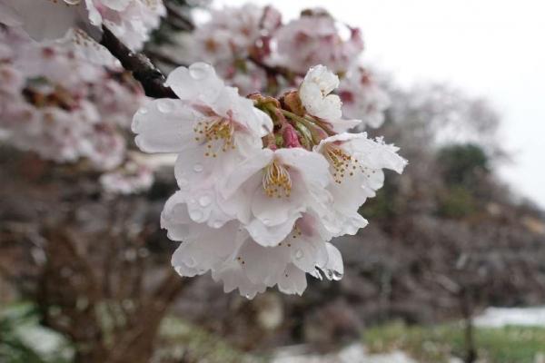長岡百穴古墳の桜