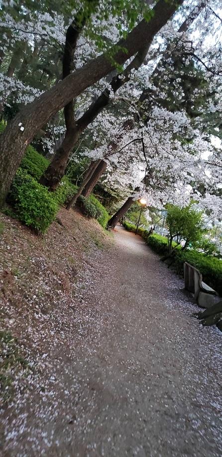 満開の桜も散りゆく松山のお堀歩道1