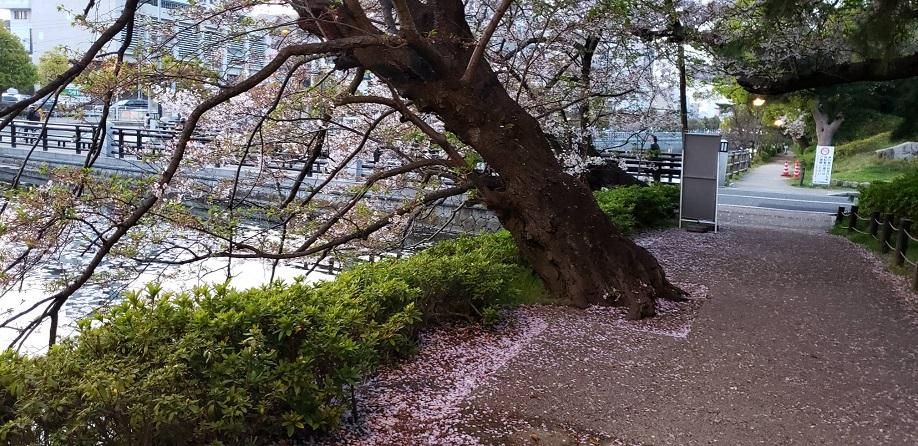 満開の桜も散りゆく松山のお堀歩道4