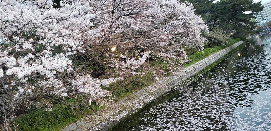満開の桜も散りゆく松山のお堀歩道6