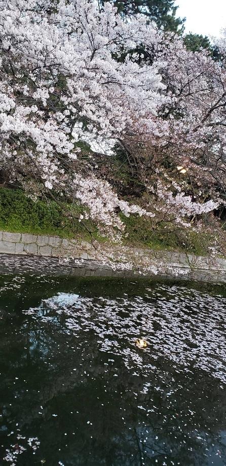 満開の桜も散りゆく松山のお堀歩道8
