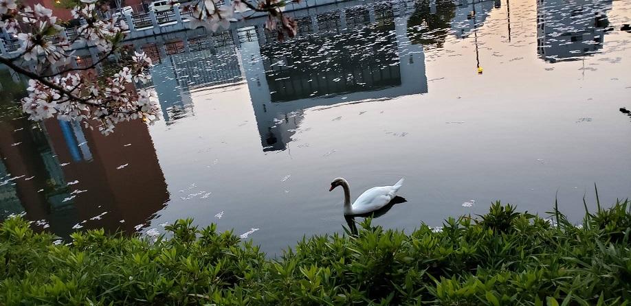 散りゆく桜の花びら浮く松山お堀の飛べない白鳥2