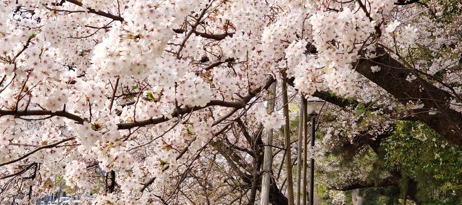 満開の桜も散りゆく松山のお堀歩道9