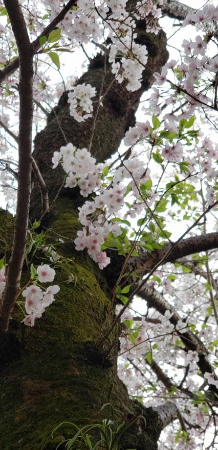 満開の桜も散りゆく松山のお堀歩道11