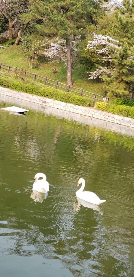 散りゆく桜の花びら浮く松山お堀の飛べない白鳥7