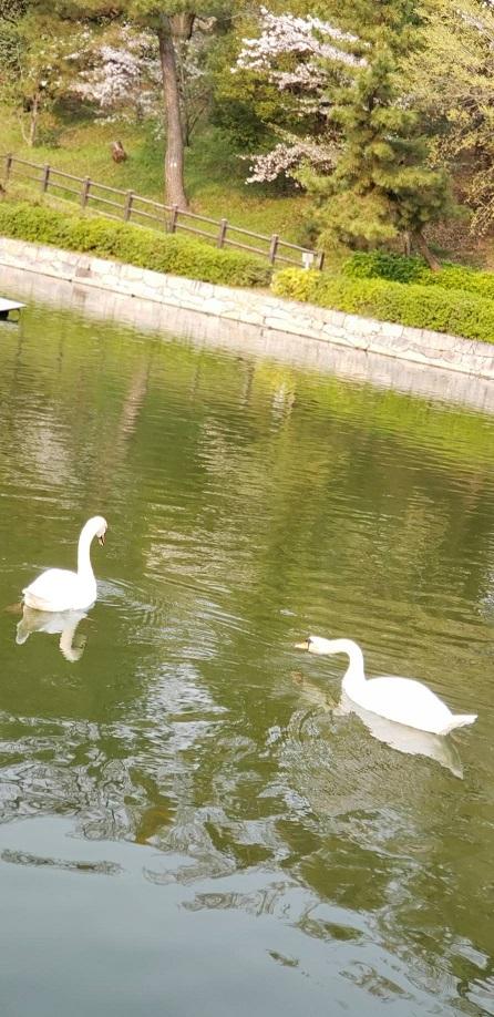 散りゆく桜の花びら浮く松山お堀の飛べない白鳥13