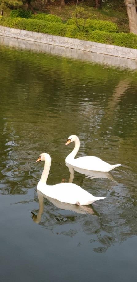 散りゆく桜の花びら浮く松山お堀の飛べない白鳥14