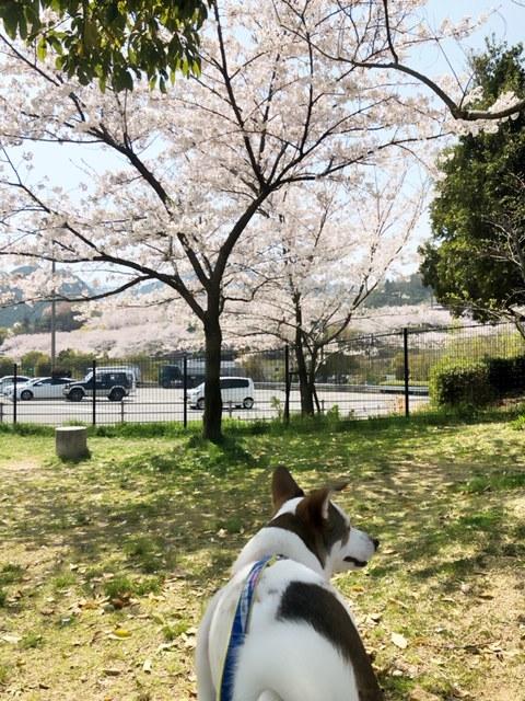 休憩中の石鎚パーキングエリアも桜がきれいでした🌸