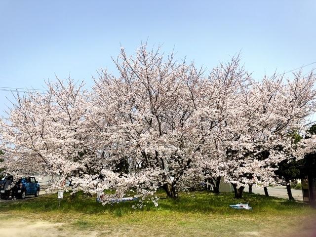 パパの転勤先で散歩をする広場にある、桜の木🌸
