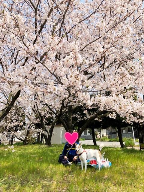 満開の桜の下でお弁当を食べました🍙