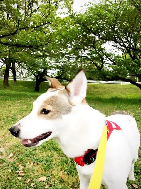 今は桜も終わり、新緑の下をお散歩しています🌿